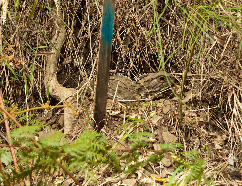 A male tuatara sunning himself in Karori Wildlife Sanctuary