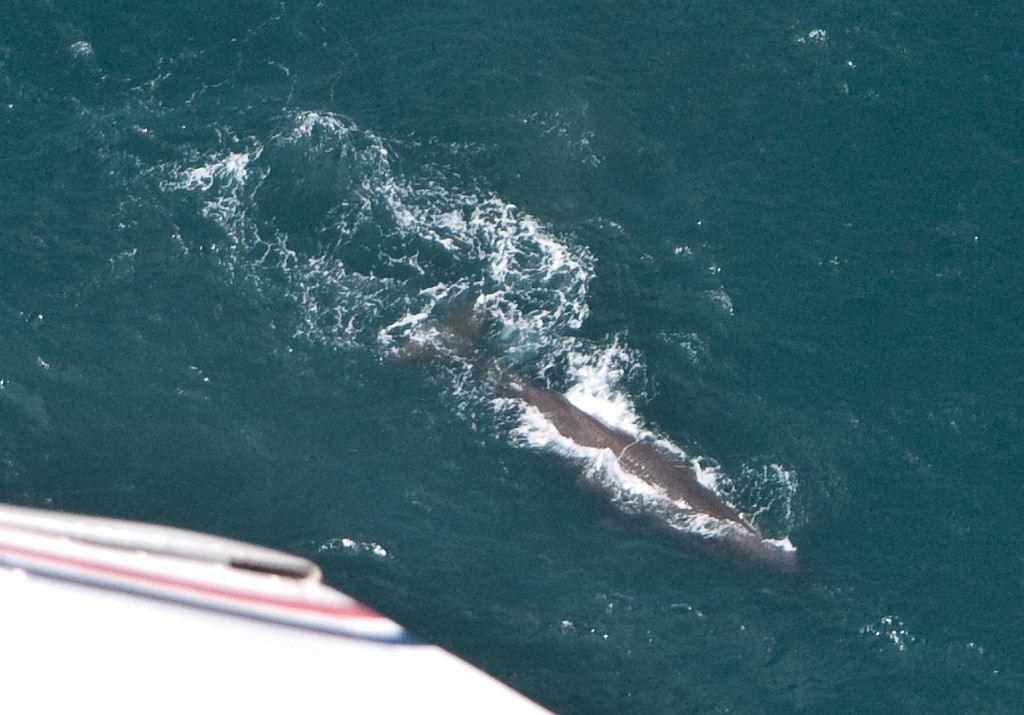 Aerial view of a sperm whale off the coast of Kaikoura
