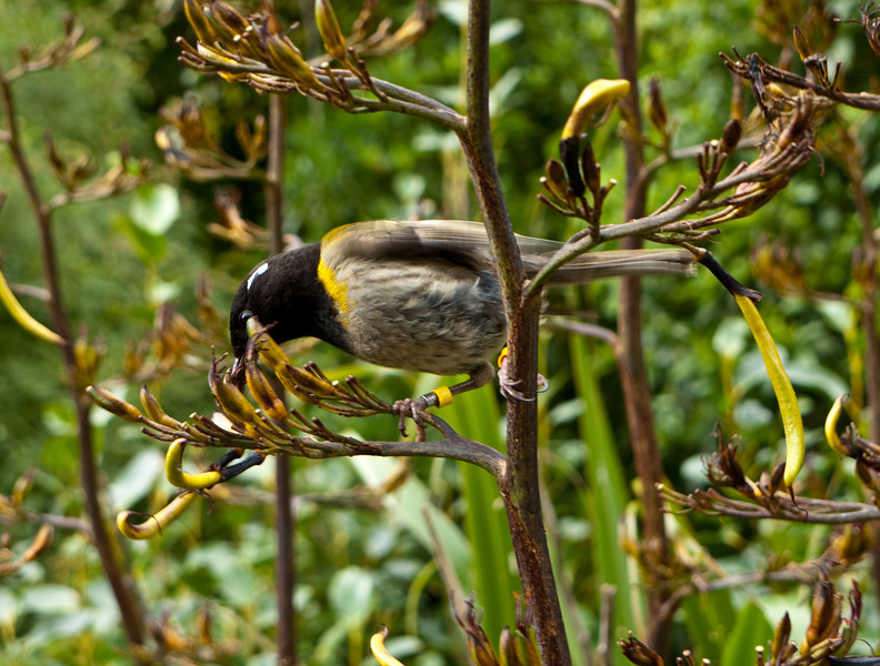 A hihi drinks nectar from a flower in the Karori Wildlife Sanctuary