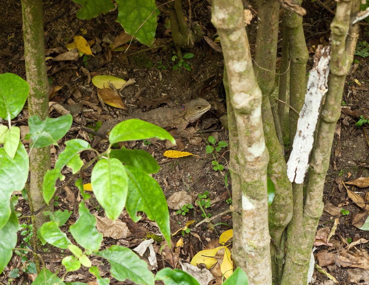 A female tuatara in the Karori Wildlife Sanctuary