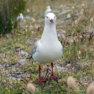 You Gonna Eat All That? (Pesky seagull after our lunch at Tapotupotu Bay near Cape Reinga)