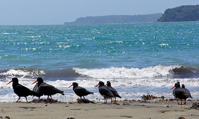 Shore Birds (Mahurangi Regional Park near the Bay of Islands)