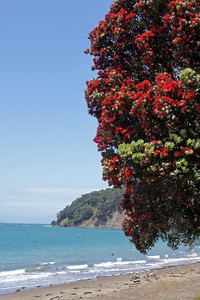 Pohutukawa (New Zealand's Xmas tree at Mahurangi Regional Park)