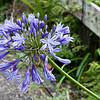 Agapanthus coming into bloom.