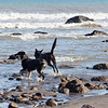 A large proportion of beach walkers had dogs.  A large proportion of the dogs had sticks to be thrown and retrieved.