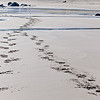 Hoof prints on the beach.