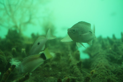 Fish at the underwater observatory at Milford Sound.