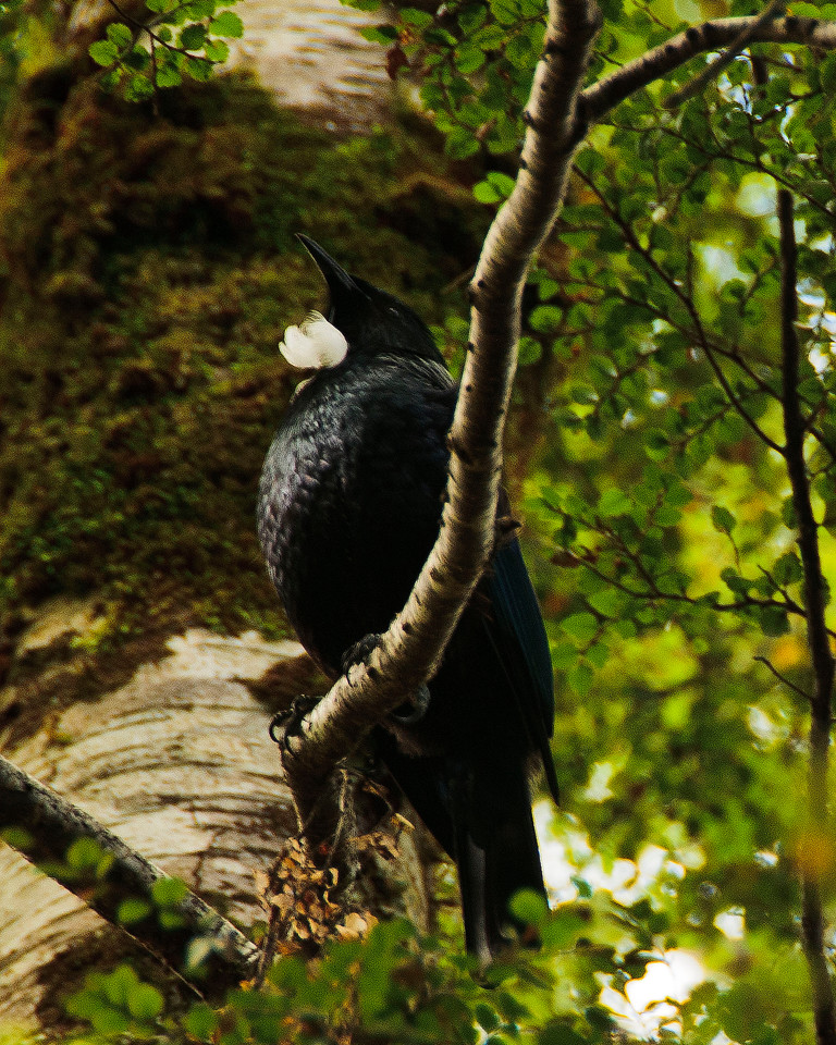THE TUI, MASTER OF SONG