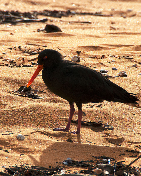 OYSTERCATCHER IN REPOSE