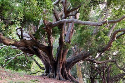 Tree in Albert Park, Auckland.