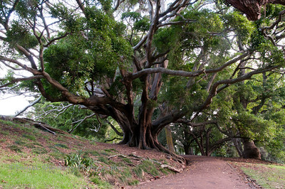Tree in Albert Park, Auckland.