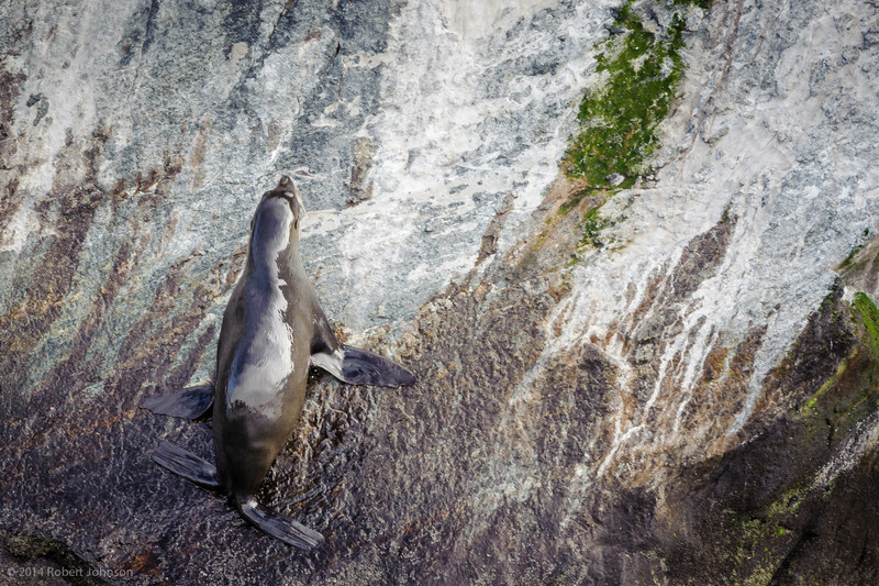 New Zealand fur seal or kekeno (Arctocephalus forsteri), Milford Sound
