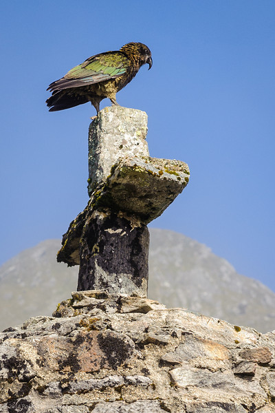 Kea on the memorial at Mackinnon Pass