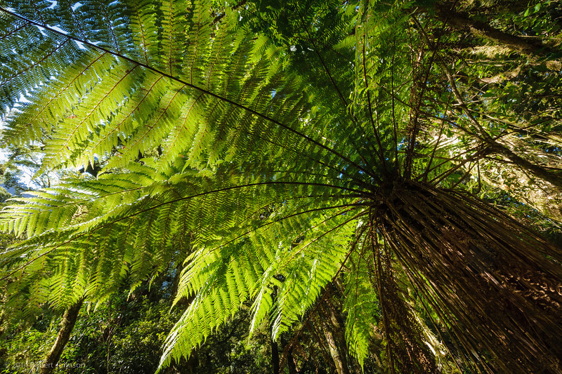 Giant tree fern (it's over 4 meters tall)