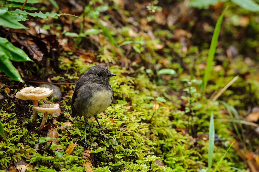 New Zealand Robin or Toutouwai