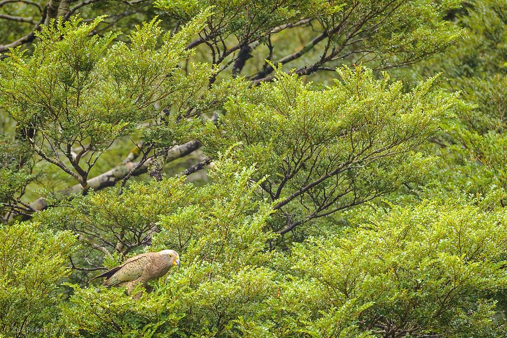 Kea (Nestor notabilis) in a beech tree