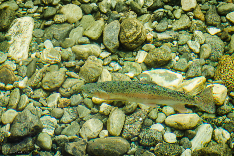 A nice Clinton River rainbow trout (taken by a photographer who wishes he had his fly rod)