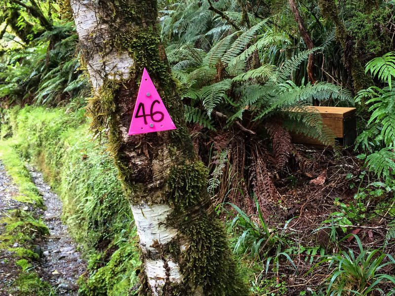 This is stoat trap on the Routeburn Track. The stoat is a member of the mustelid family, along with weasels and ferrets. It was introduced to New Zealand in the 1880s to control rabbits and hares. Stoats are now considered public enemy number one for New Zealand birds. There was a trap like this every 200 m along the track.