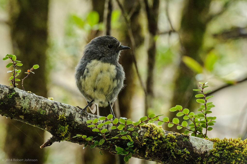 New Zealand Robin or Toutouwai