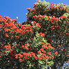 Pohutukawa in bloom.