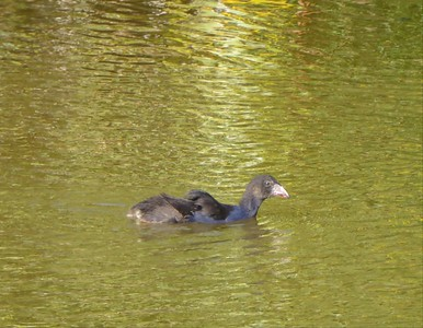 A Pond of Pukekos