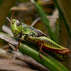 1020383 Mapua Mount Arthur trail Southern Tussock Grasshopper (Acrididae Catantopinae Catantopini Sigaus australis)