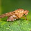 8967 Mapua Diptera Drosophila sp  perhaps
