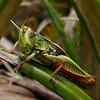 1020381 Mapua Mount Arthur trail Southern Tussock Grasshopper (Acrididae Catantopinae Catantopini Sigaus australis)
