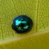 9291-9293 Mapua Able Tasman Steelblue Ladybird