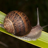 9068 snail