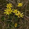 1020359 Mapua Mount Arthur trail Alpine Groundsel (Asteraceae Senecioneae Brachyglottis bellidioides)