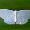 1020429 Mapua Mount Arthur trail Flax Window Maker or Flax looper (Geometridae Larentiinae Orthoclydon praefectata)