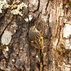 9772 Mapua Mount Arthur trail Rifleman (Acanthisitta chloris)