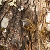 9771 Mapua Mount Arthur trail Rifleman (Acanthisitta chloris)