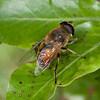 9006 Mapua Diptera