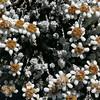 1020391 Mapua Mount Arthur South Island Edelweiss (Asteraceae Leucogenes grandiceps)