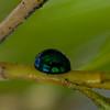8936-8940 Mapua Steelblue Ladybird (Halmus chalybeus)