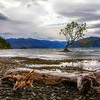 The much photographed tree at Lake Wanaka.