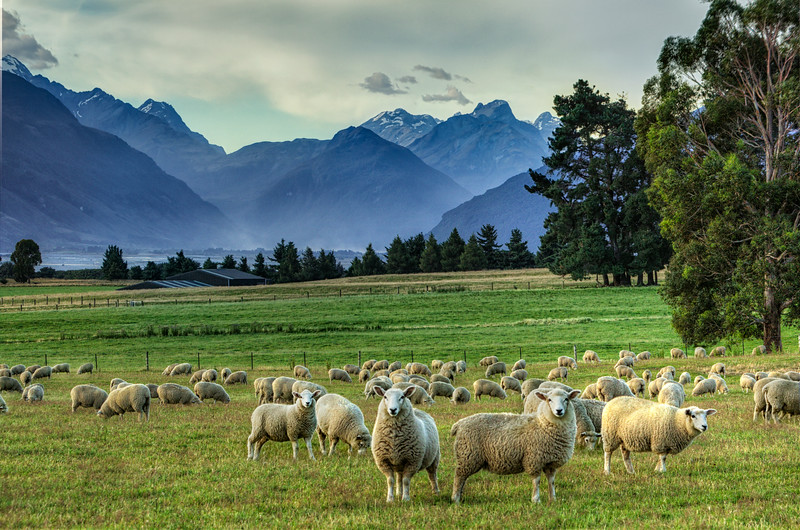 Guard sheep<br />  Glenorchy, NZ