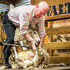 Gibson demonstrating the proper method of shearing a sheep. No animals were harmed.