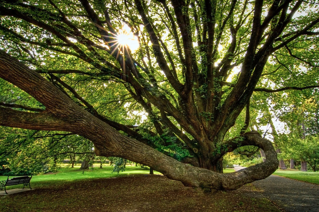 Sunstar and tree, Christchurch Botanic Gardens