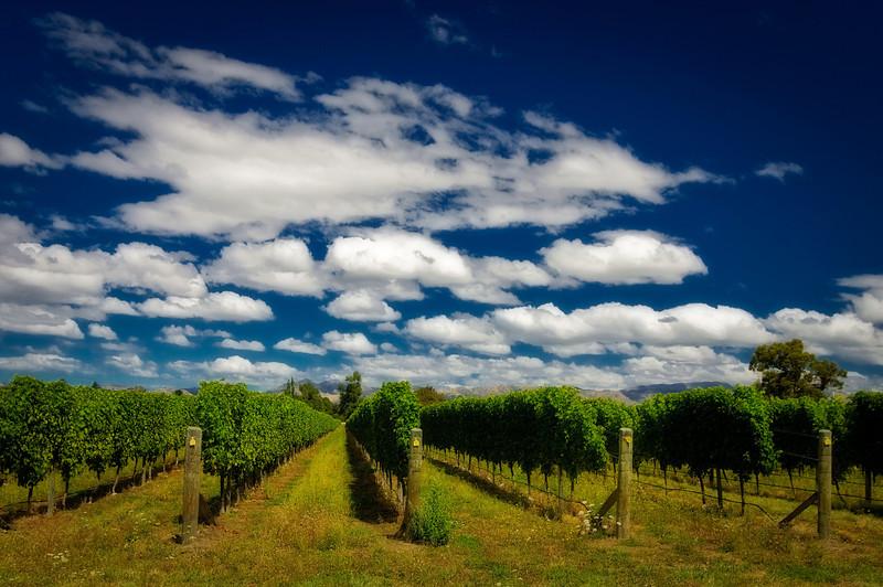 A dreamy vinyard, Marlborough, New Zealand.