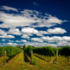 A dreamy vinyard, Marlborough, New Zealand.