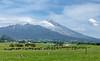 On December 24, everyone met back at Oakura in the Taranaki region.  Mt. Taranaki with dairy cows.