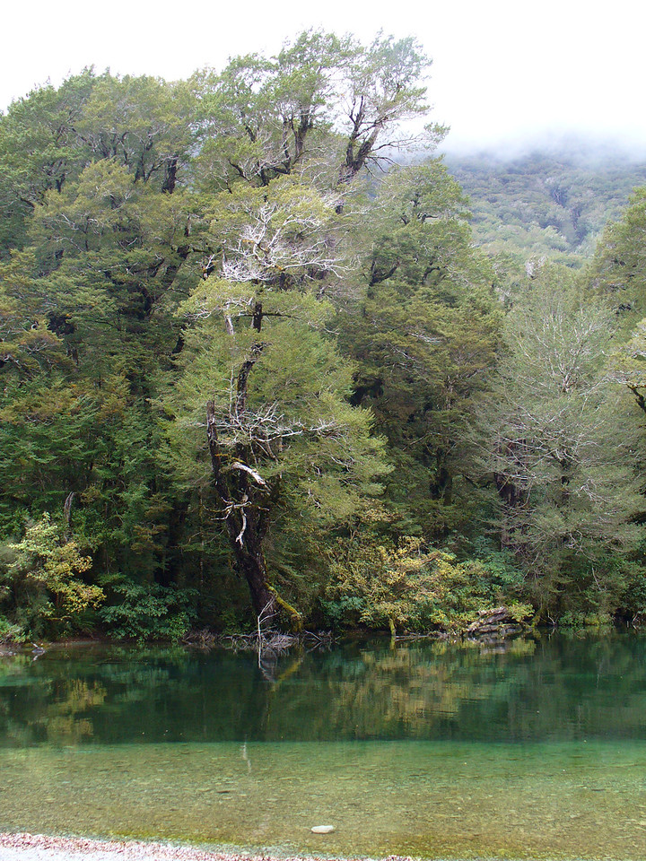 Lake Gunn, amongst the beech forest