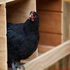 Chicken in the Coop