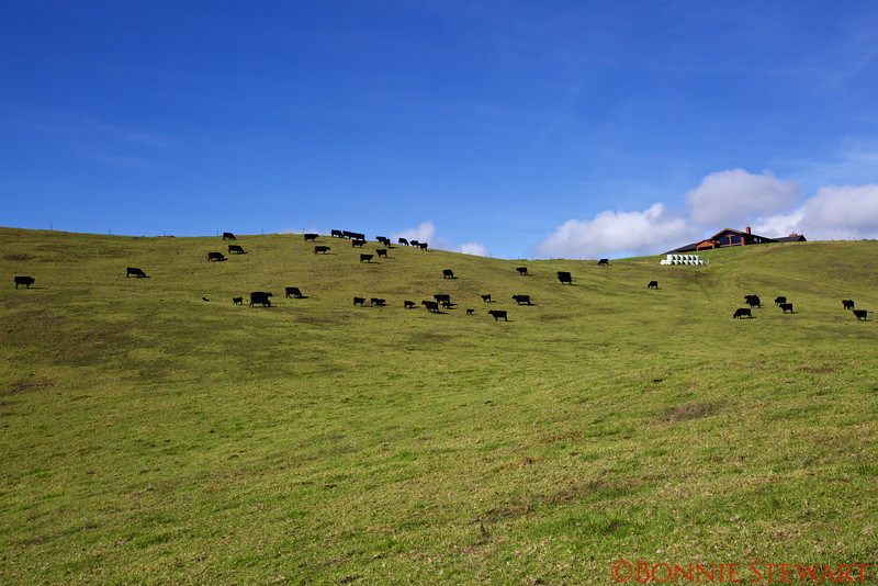 Cows and Ranch House