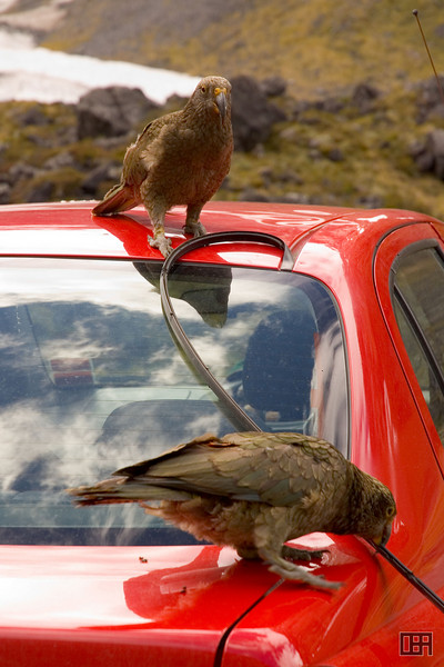 Two Kea happily removing all rubber from the cars they find