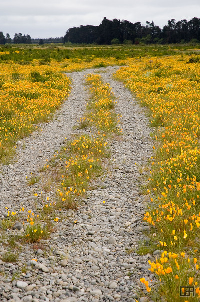 Yellow and orange California Poppies in a dry riverbed (Selwyn River)