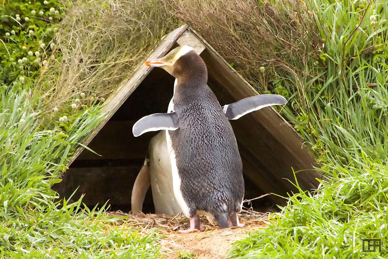 Yellow Eyed Penguin returning home